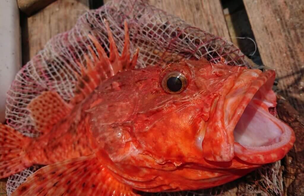 観音崎で釣られたオニカサゴ(釣り人:アロハのサングラスさん)