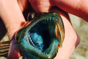 アナハゼの青い口