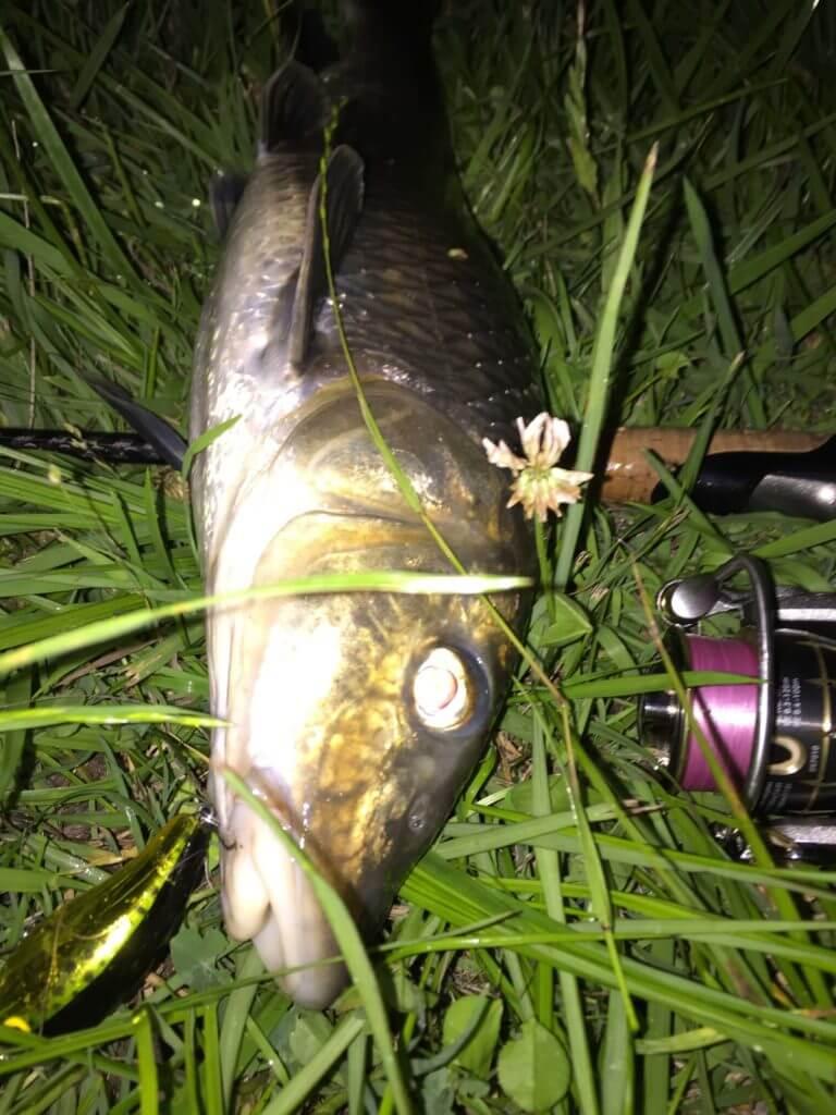 こいつ口が尖ってやがるぞ!都市河川の好ターゲット『ニゴイ』の生態・釣り方・ポイント