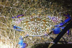 タイワンガザミは、鮮やかな青と白い胴が特徴