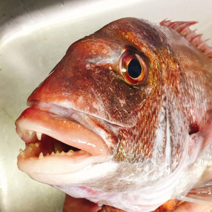 天然真鯛の顔