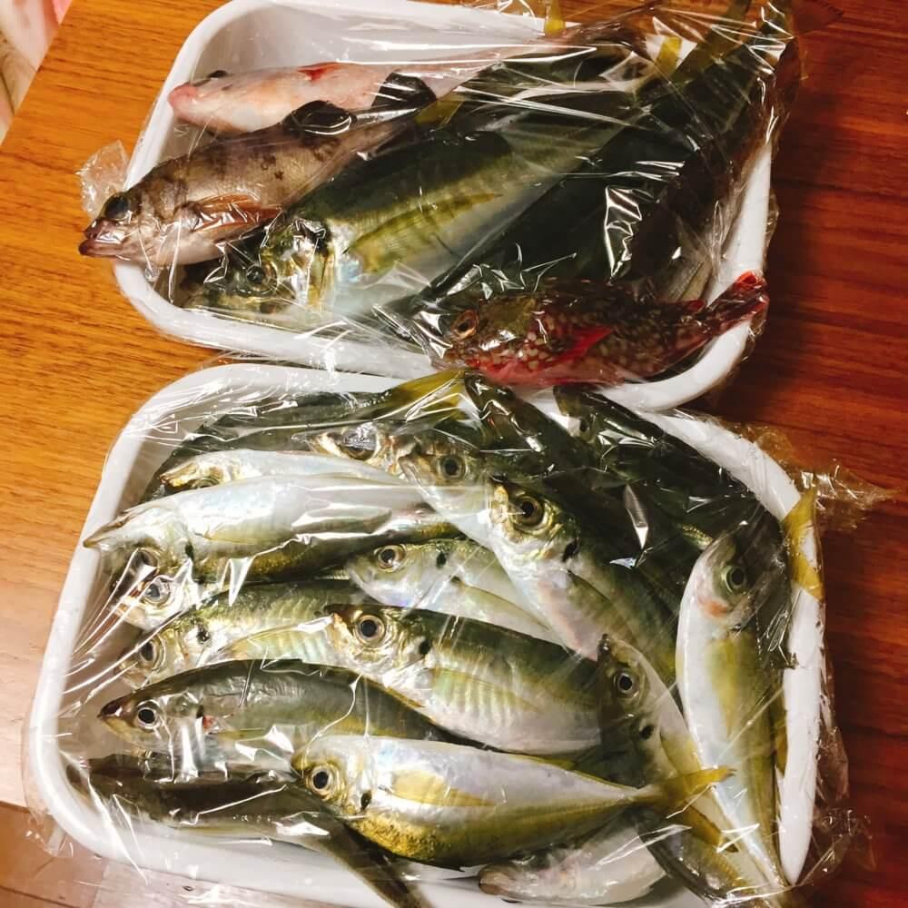 アジ釣りの釣果