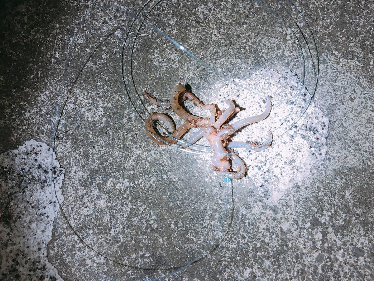 ウナギ釣り用のドバミミズ
