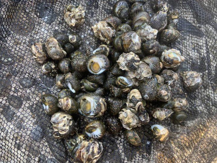 イシダタミ貝