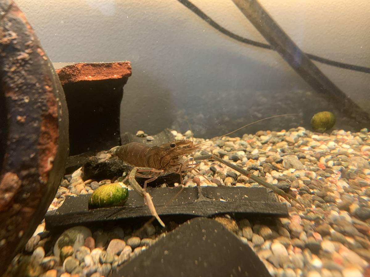 水槽のテナガエビ