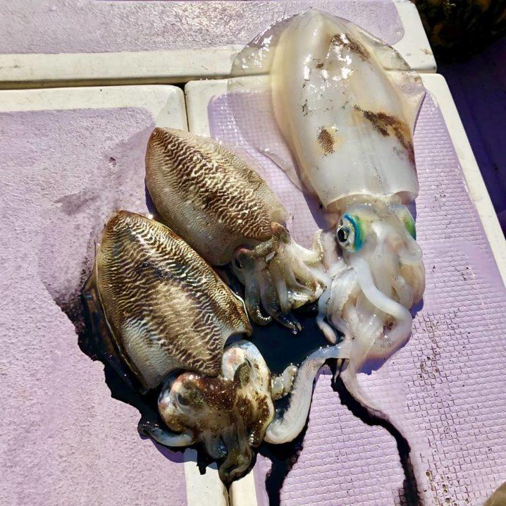スッテで釣れたスミイカ(右端はゲストのアオリイカ)