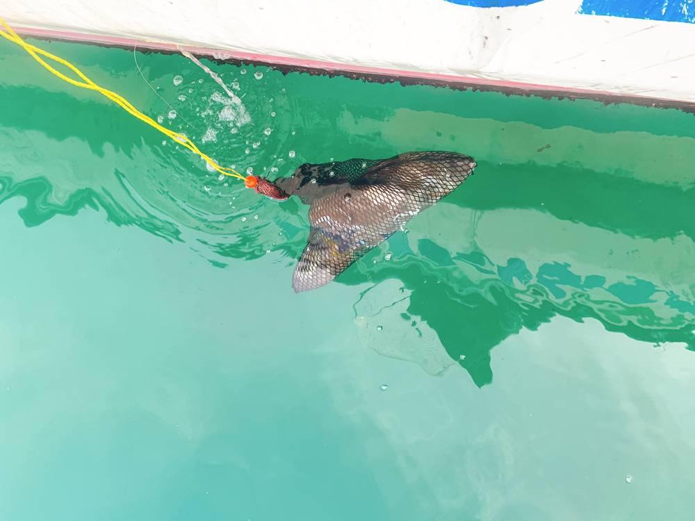 釣り上げたスミイカ(コウイカ)をスカリにいれて洗う様子