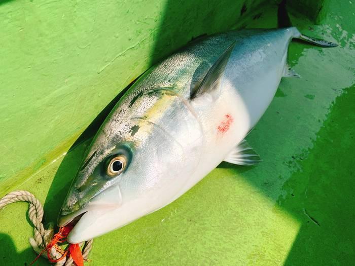タイラバで釣ったワラサ