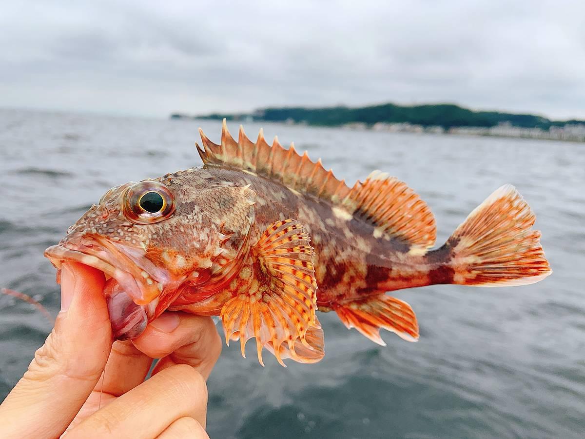 大津沖で釣ったカサゴ