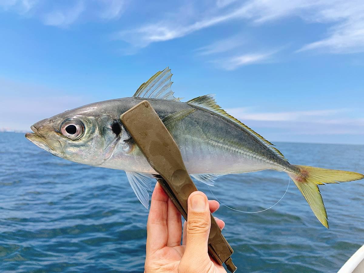大津沖で釣った良型黄アジ