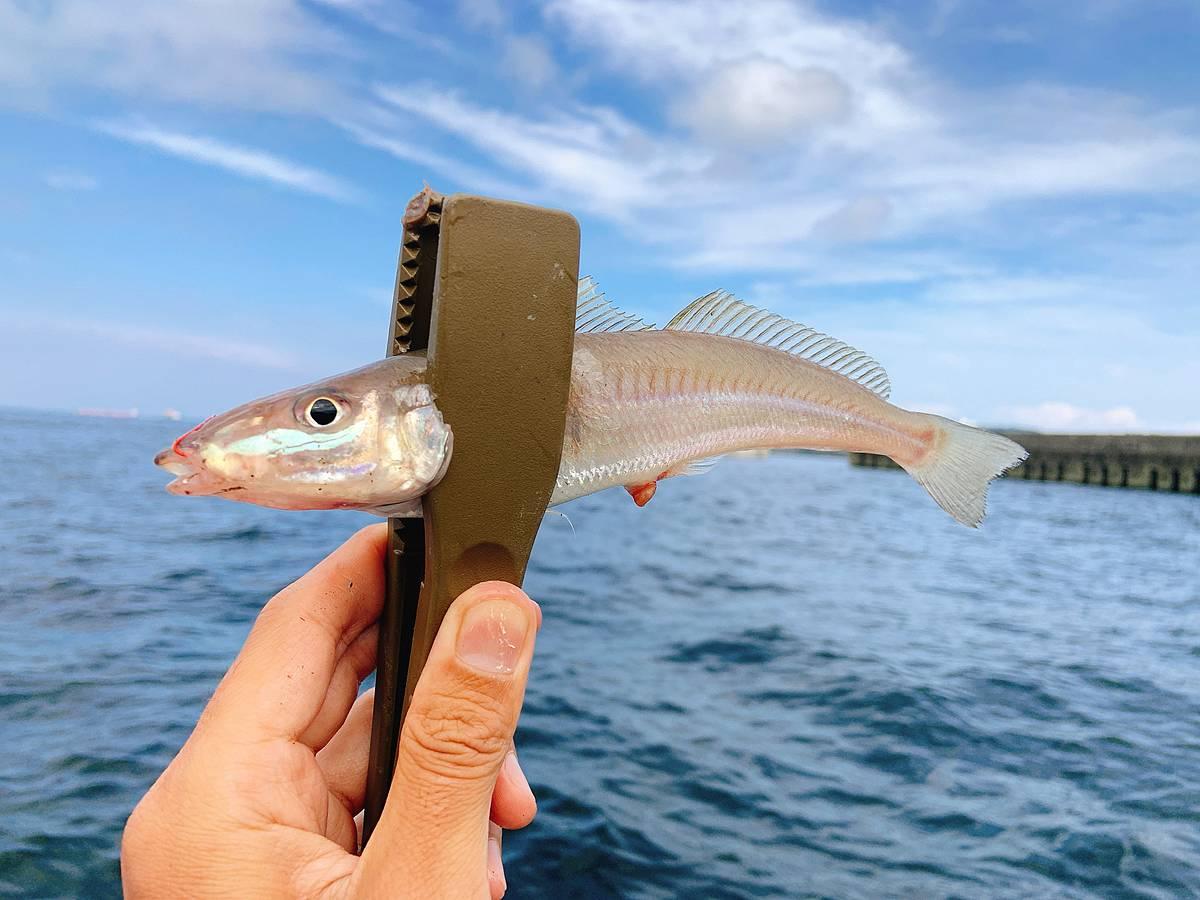 大津で釣ったシロギス
