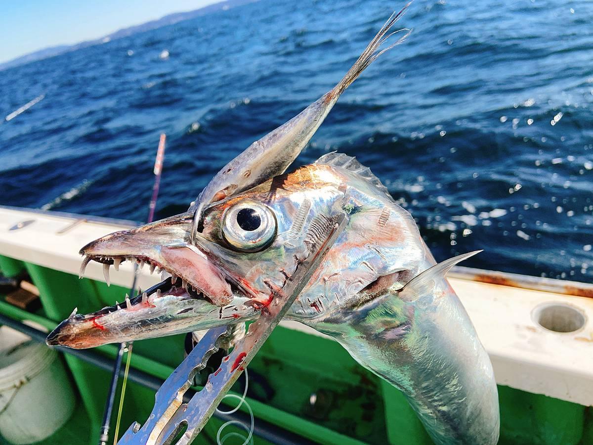 テンヤで釣ったタチウオ