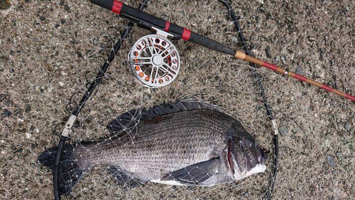 クロダイのヘチ釣り